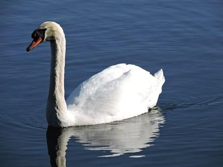 Swan, Nature, Lake, Water, Wild, Bird, Wildlife, White