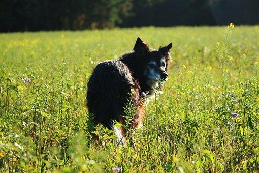 Dog, Border, Border Collie, Collie, British Sheepdog