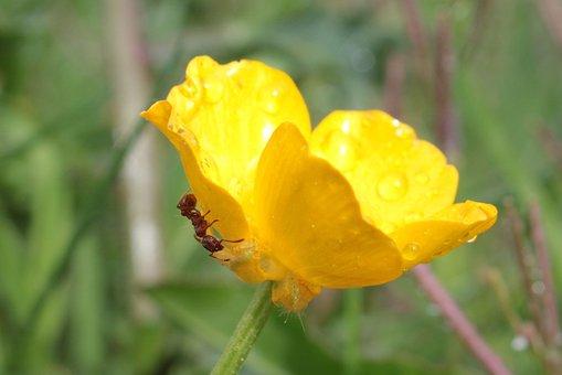 Sharp Buttercup, Ranunculus Acris, Buttercup