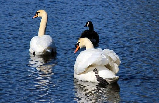 Swans, Mute Swans, Cygnus Olor, Canada Goose, Swim
