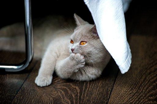 Cat, British Shorthair, Bkh, Thoroughbred, Adidas