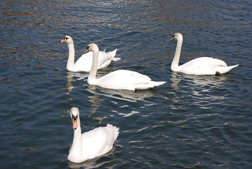 Mute Swan, Cygnus Olor, White, Water, Cobs, River