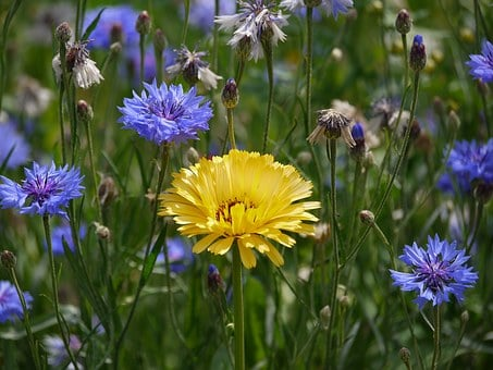 Marigold, Cornflowers, Sunny, Flower Meadow, Individual