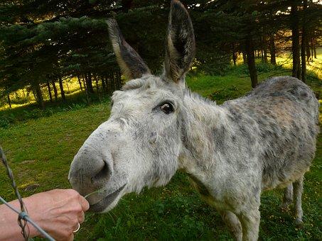 Donkey, Domestic Donkey, Feed, Eat, Curious, Funny