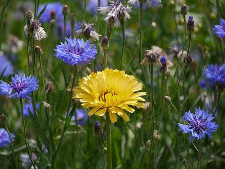 Marigold, Cornflowers, Sunny, Flower Meadow, Meadow