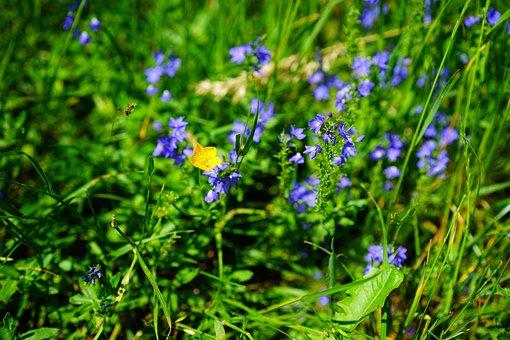 Sharp Buttercup, Flower, Yellow, Ranunculus Acris