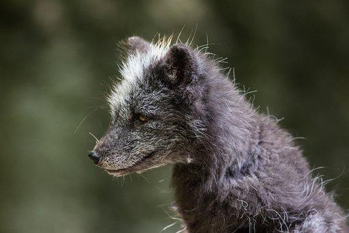 Arctic Fox, Ice Fox, Fur, Snout, Animal, Good, Dog