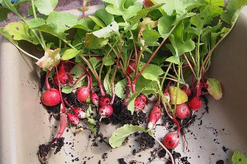 Radish, Harvest, Kitchen Garden, Vegetable, Summer
