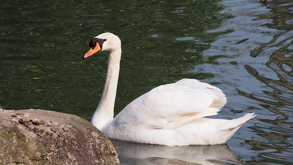 Swan, Mute Swan, Beauty, Pride, Water Bird, Pond, Lake