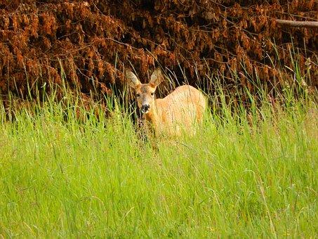 Roe Deer, Grass, Scheu, Nature, Mammal, Animal, Meadow