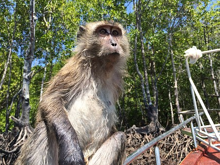 Monkey, Thailand, Intelligent, Nature, Primate, Jungel
