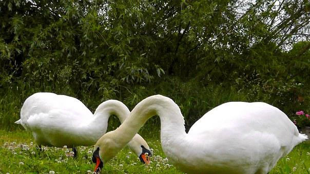 Swans, Animals, Beautiful, Elegant, Feather, Mute Swan