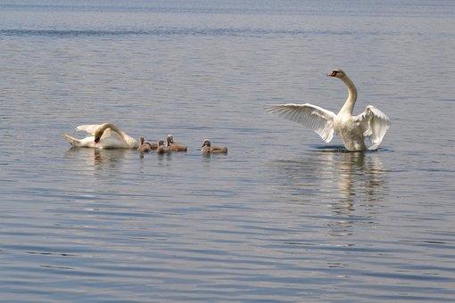 Pond, Swan, Mute Swan, Water Bird, Nature, Swans, Bird