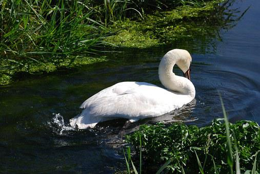 Mute Swan, Cygnus Olor, Waterfowl, Cob, White, Plumage