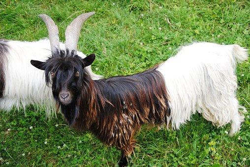 Goat, Nature, Meadow, Pasture, Animal, Pet, Horns