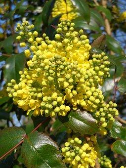 Mahogany, Flowers, Yellow, Grow, Plant, Nature