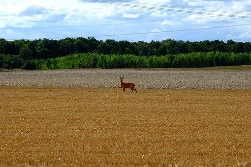Roe Deer, Red Deer, Wild, Animal, Nature, Animal World