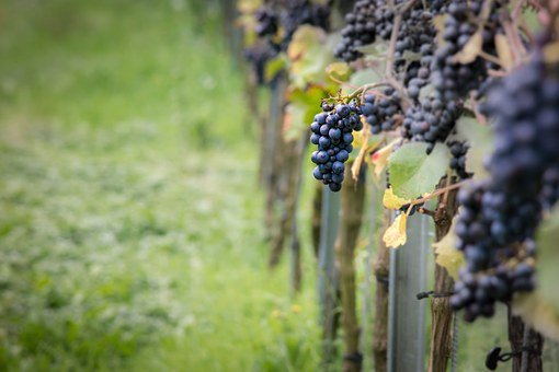 Wine, Grapes, Pinot Noir, Vine, Vines, Autumn
