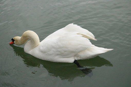 Mute Swan, Swan, Lake, Bird, Water Bird, White, Plumage