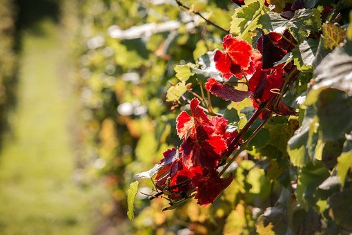 Vineyard, Vine, Autumn, Red, Vine Leaves, Vines