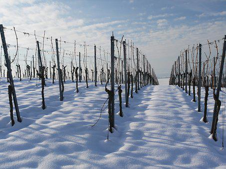 Vineyard, Winter, Snow, Wintry, White, Cold, Rest