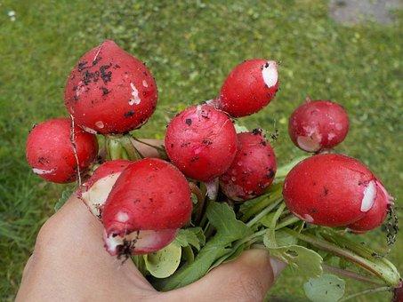Radish, Pink, Vegetables, Spring, Harvest