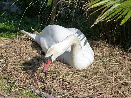 Mute Swan, Swan, Bird Watching, Lake Morton, Wildlife