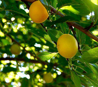 Fruit, Fruits, Yellow Plums, The Tree Grow, Mature