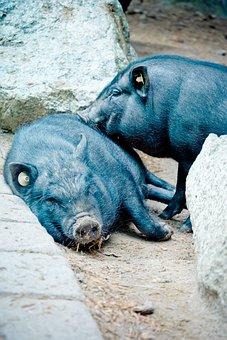 Pot Bellied Pig, Vietnamese Hängebauchschwein Pig