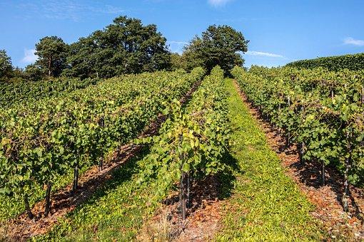 Vines, Wine, Winegrowing, Grapevine, Vine, Vineyard
