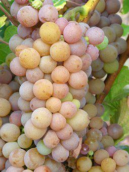 Grapes, Vineyard, White Wine, Pinot Gris, Fruit, Berry
