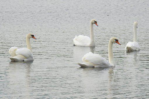 Swans, Mute Swans, Water, Lake, Preening, Water Bird