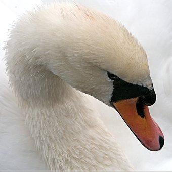 Swan, Mute, White, Bird, Waterfowl, Cygnus, Big, Beak