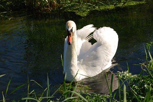 Mute Swan, Cygnus Olor, Plumage, Waterfowl, White