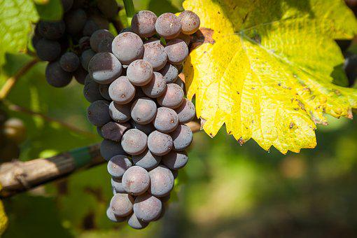 Wine, Grape, Vine, Wine Leaf, Autumn, Grapes