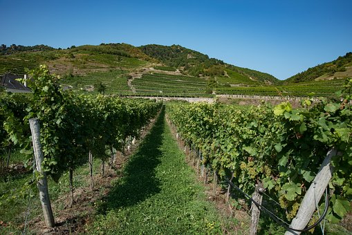 Vineyard, Wine, Winegrowing, Wine Growing Area, Vine