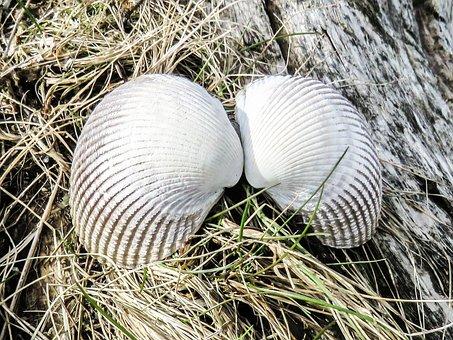 Shells, Nature, Angel Wings, Natural, Sea, Tropical