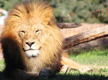 Lion, Zoo, Spain, Animal, Bio Park, Predator, Valencia