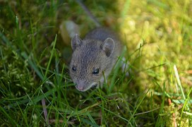 Mouse, Baby Mouse, Animal, Cute