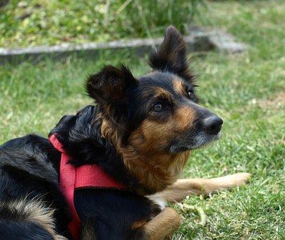 Border Colli, Dog, Attention, Face, Portrait, Curious