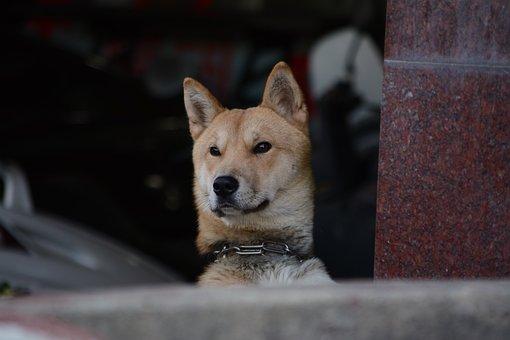 Republic Of Korea, Puppy, Dog, Korean Jindo Dog, Facial