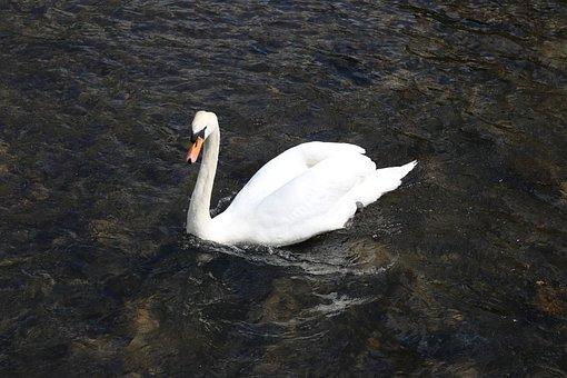 Swan, Water, Bird, Animal, Bakewell, Lake, England