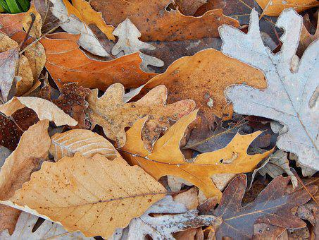 Brown Fall Leaves, Fall, Late Fall, Autumn, December