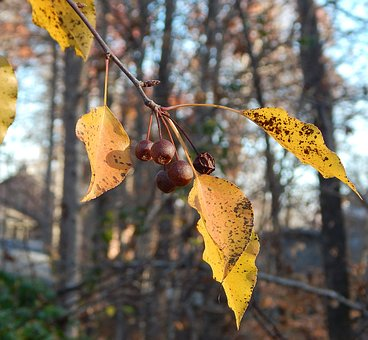 Remnant Cherries, Fall, Autumn, Cherries, Tree, Nature