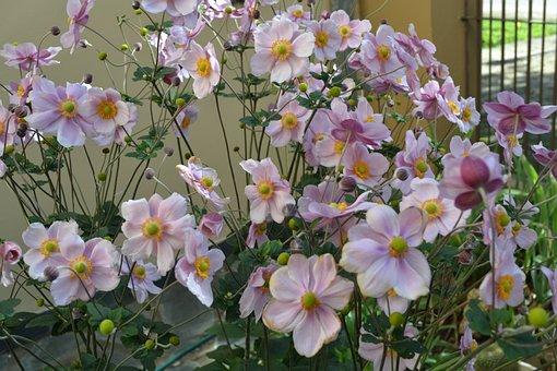 Anemonae Japonica, Flowers, Autumn