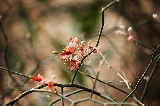 Flower, Indian Flower, Rajasthani Flower, Pink Flower