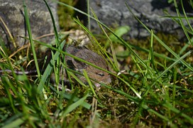 Mouse, Baby Mouse, Wild, Animal, Cute, Nager, Pest