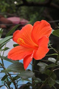 Flower, Flowers, Showy Flowers, Orange-red Flowers