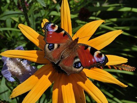 Peacock, Aglais Io, Echinacea Paradoxa, Garden, Border