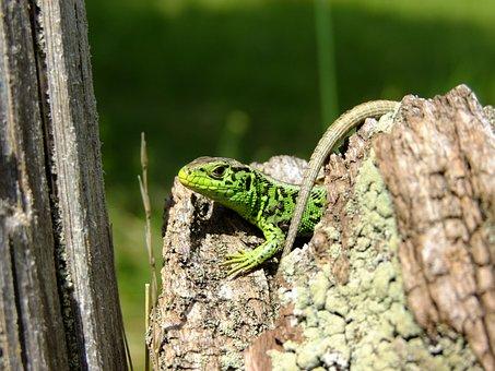 Lizard, Sand Lizard, Nature, Reptile